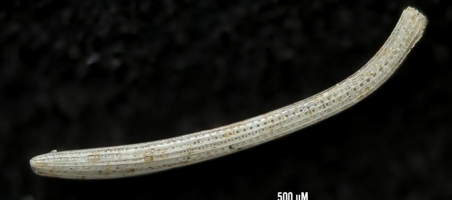 Sehr kleiner Seeigel-Stachel